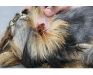 Чистка ушей у собак