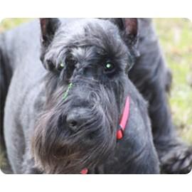 Стрижка (тримминг) для собак
