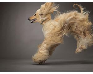 Тримминг Афганской борзой собаки
