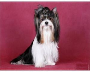 Стрижка и груминг собак Бивер Йорк