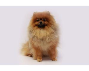 Стрижка длинношерстных собак